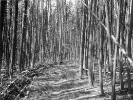 Lodgepole pines.